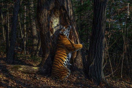 Imaginea articolului O fotografie cu un tigru care îmbrăţişează un copac este fotografia anului