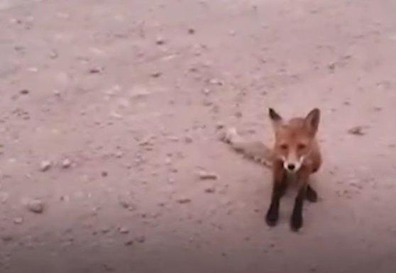 Imaginea articolului Animalele sălbatice din Siberia îşi părăsesc habitatul natural în urma incendiilor de vegetaţie / VIDEO