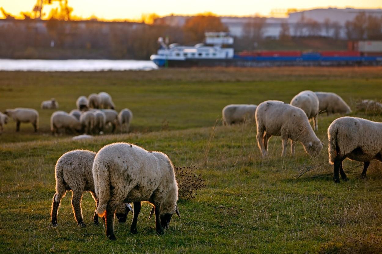 Urmările crizei din Canalul Suez. Navele cu animale au ajuns la destinaţie, după zile întregi de trafic maritim blocat. Rata medie a mortalităţii