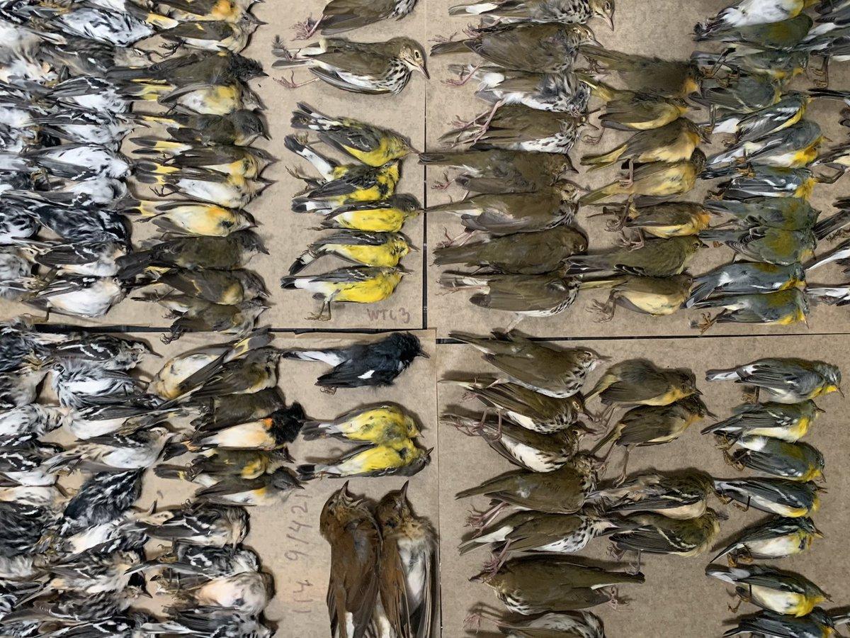 Măcel pe trotuarele din New York. Sute de păsări migratoare au murit lovindu-se de zgârie-nori