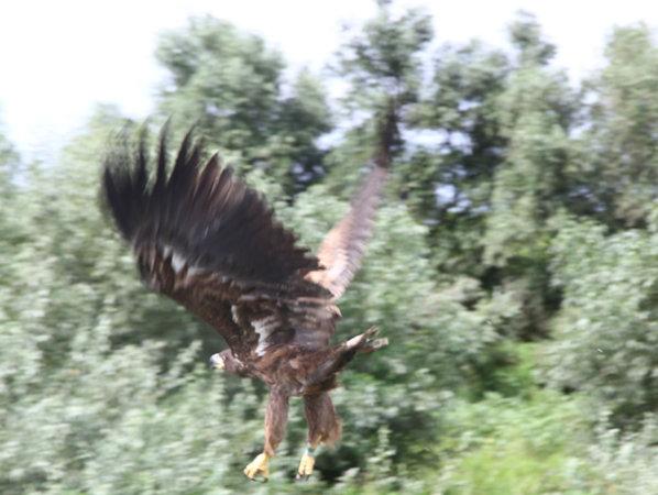 Un vultur codalb, specie aflată pe cale de dispariţie, a