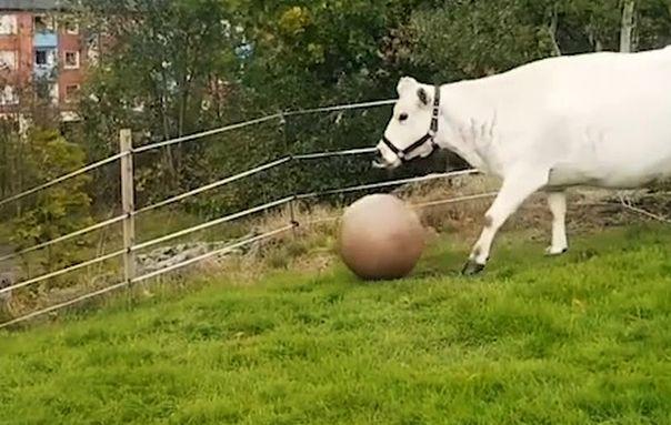IMAGINILE ZILEI: O vacă se joacă cu o minge de pilates