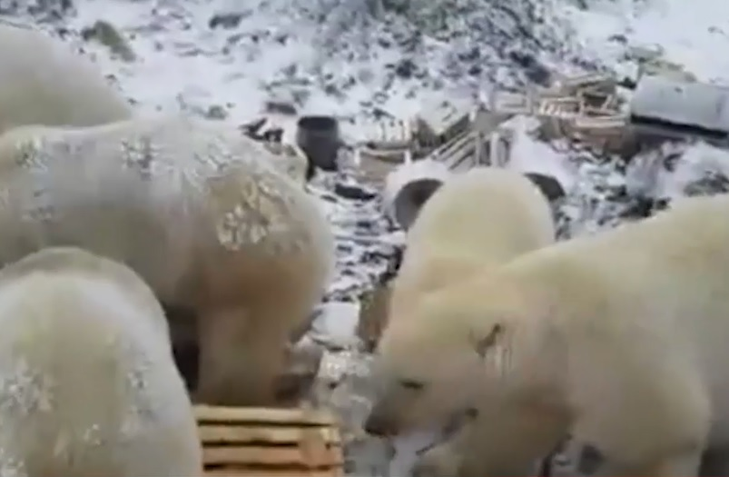 IMAGINILE ZILEI: Peste 50 de urşi polari au luat cu asalt un oraş din arhipelagul Novaya Zemlya, Rusia