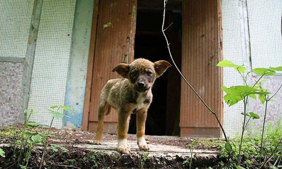 Imaginea articolului Maidanezii de la Cernobîl. Cum trăiesc sute de câini în zona de excludere a dezastrului nuclear/ Animalele abandonate şi-au format propria comunitate | FOTO