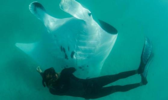 Imaginea articolului Întâlniri subacvatice tot mai dese. Motivul pentru care un diavol de mare s-a apropiat neobişnuit de mult de scafandri | VIDEO