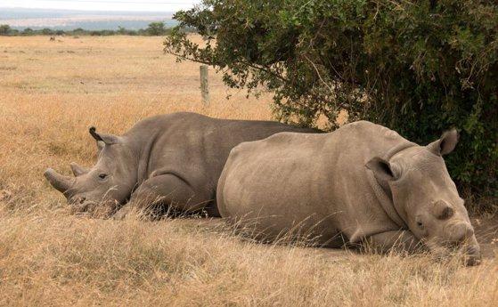 Imaginea articolului Doi rinoceri albi nordici, ultimii de pe planetă. Cum încearcă cercetătorii, în ultima clipă, să salveze specia de la dispariţie | VIDEO