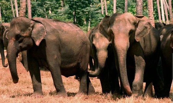 Imaginea articolului Un număr record de elefanţi au murit în Sri Lanka anul trecut.