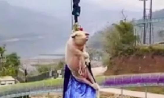 Imaginea articolului VIDEO: Scandal după ce un porc a fost aruncat în gol de la înălţime, într-un parc de distracţii. Ce s-ar fi întâmplat cu animalul imediat după incident