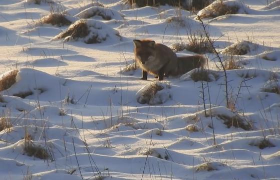 Imaginea articolului VIDEO: Imaginile suprinse de Romsilva cu o vulpe la vânătoare au făcut deliciul internetului. Clipul a devenit viral