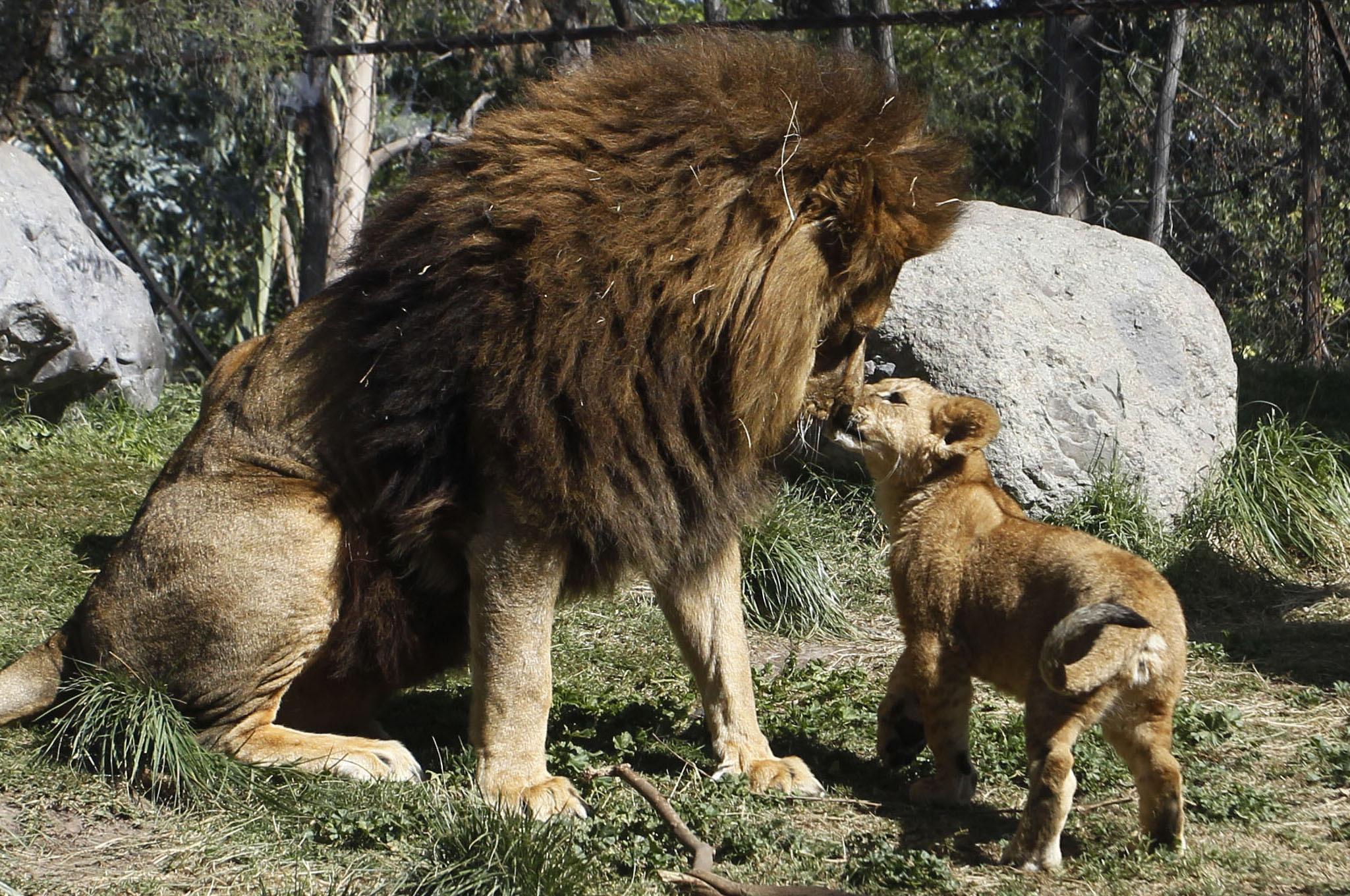 """Grădina Zoologică din Chile le caută """"naşi"""" animalelor înfometate"""