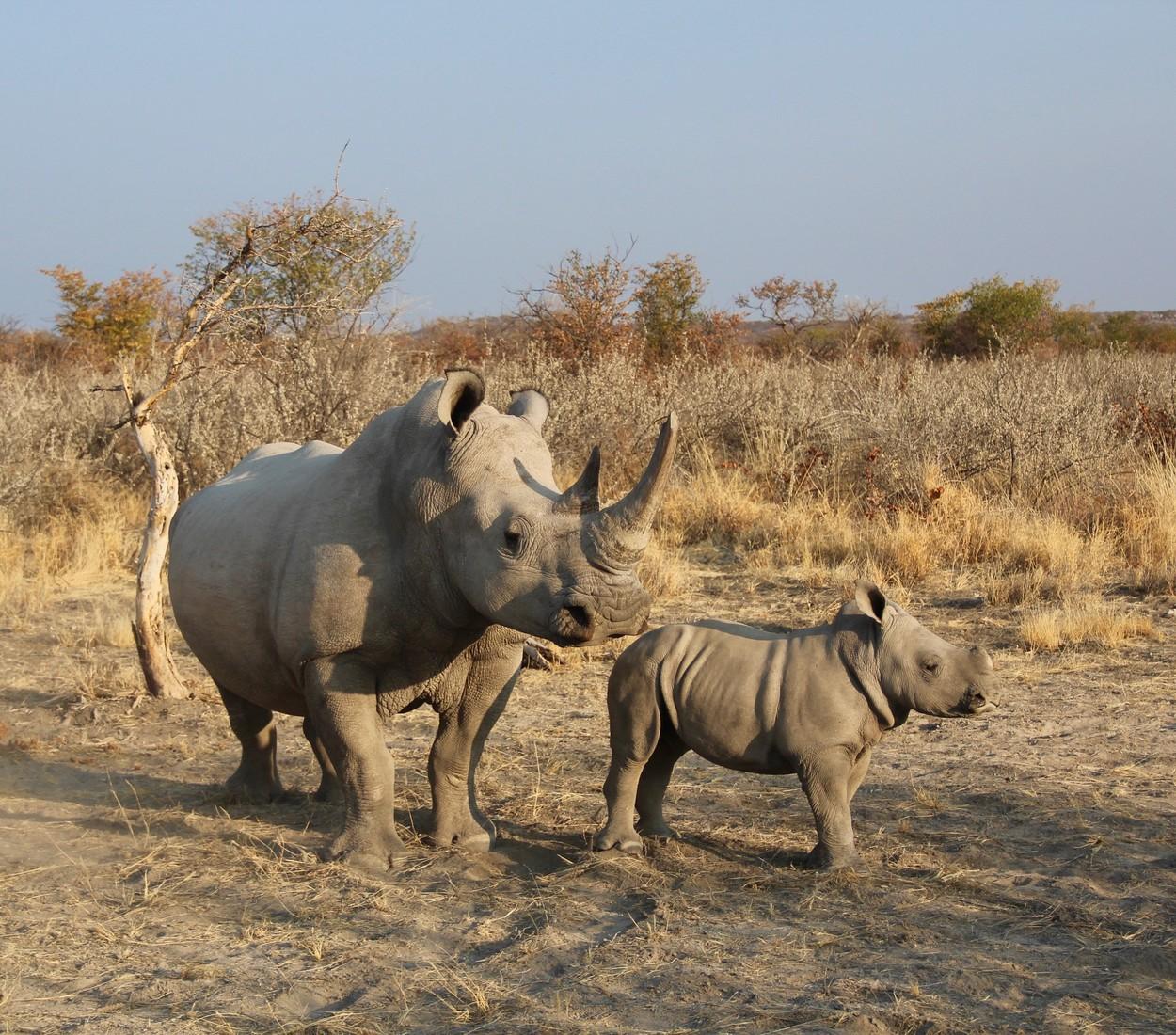Vânătoarea ilegală de rinoceri este în creştere după ce restricţiile au fost ridicate în Africa de(...)