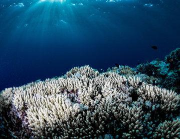 STUDIU. Coralii şi-au înjumătăţit capacitatea benefică în ultimii 70 de ani