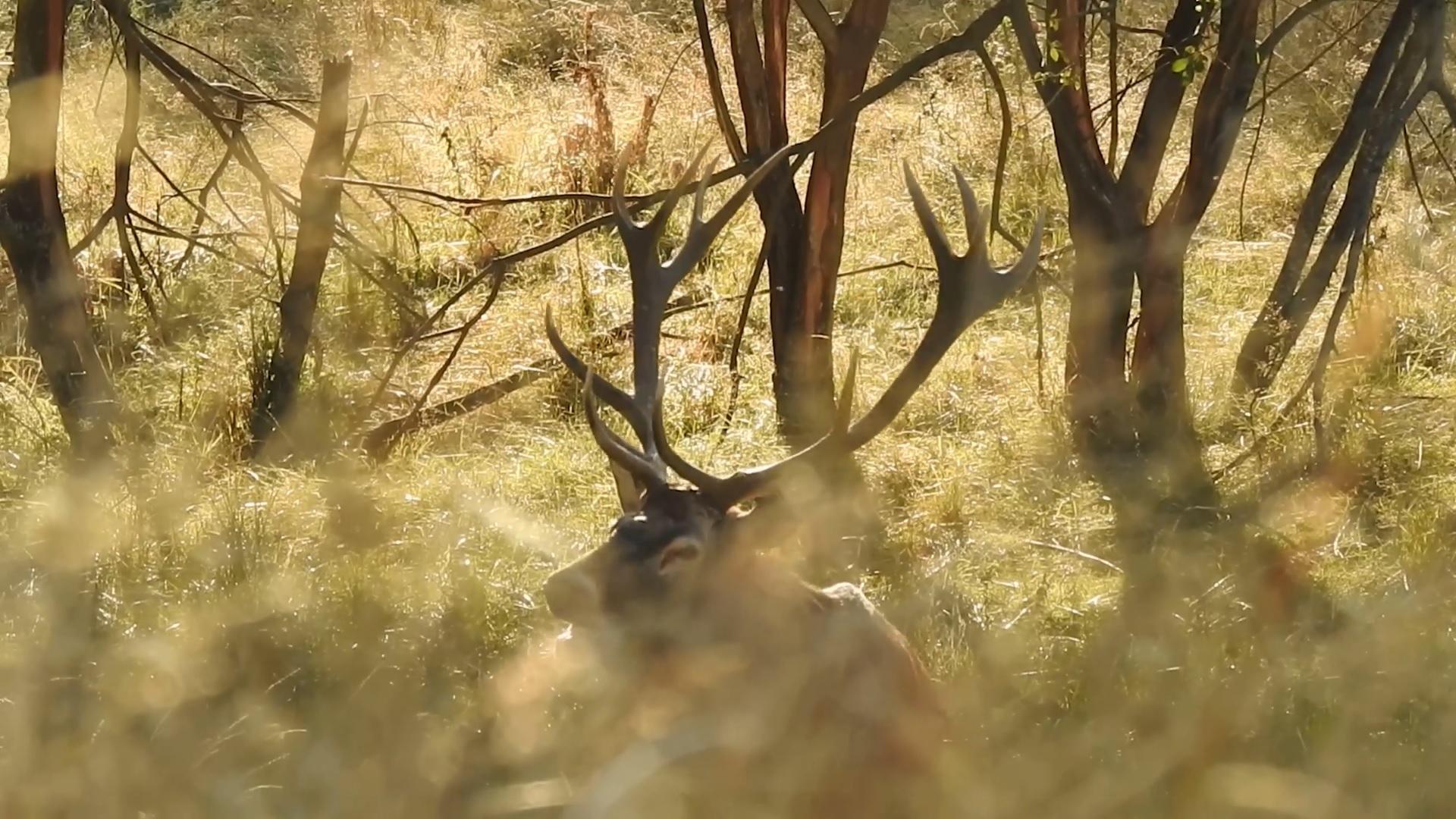 VIDEO. Imagini rare cu un cerb în perioada boncănitului