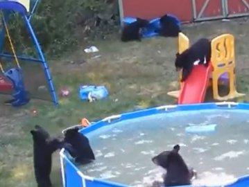 Petrecere la piscină. Cum se distrează şase pui de urs, într-un video viral adorabil