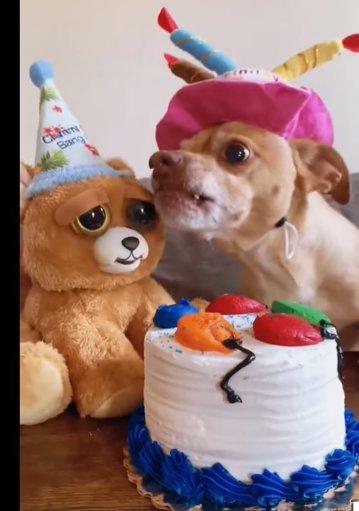 """Un căţel gelos reacţionează nervos când """"cineva"""" încearcă să guste din tortul pentru ziua sa de naştere, într-un video viral"""