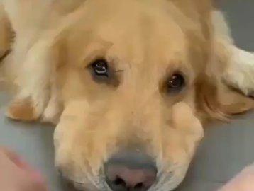 Prins în fapt. Un Golden Retriever arată de ce este în stare când stăpânul nu-i atent, într-un video viral