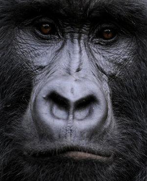 Gorila de munte din Parcul Naţional Virunga