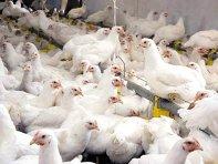 Consiliul Concurenţei investighează piaţa cărnii de pasăre. Printre firmele controlate se numără Transavia, Ave Impex, Avicola Buzău, Agricola Internaţional Bacău şi Uniunea Crescătorilor de Păsări din România