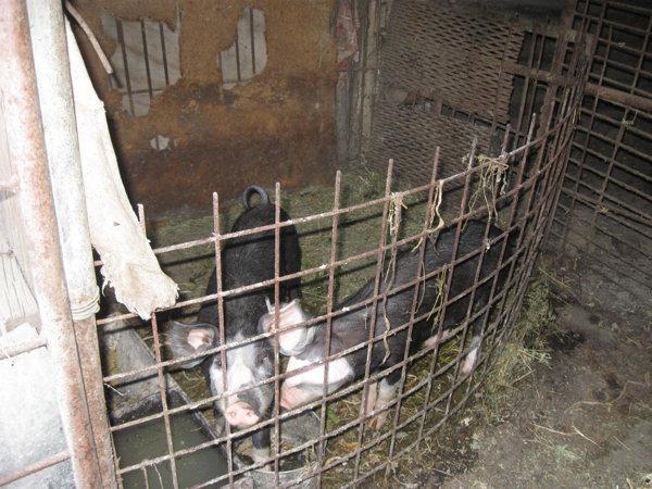 Prevenire pentru stoparea pestei porcine