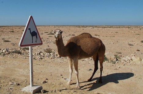 În Nevada nu ai voie să circuli cu o cămilă pe autostradă