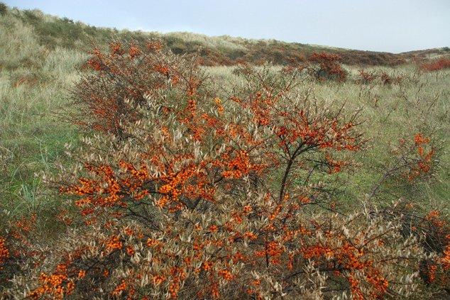 Arbusti de catina
